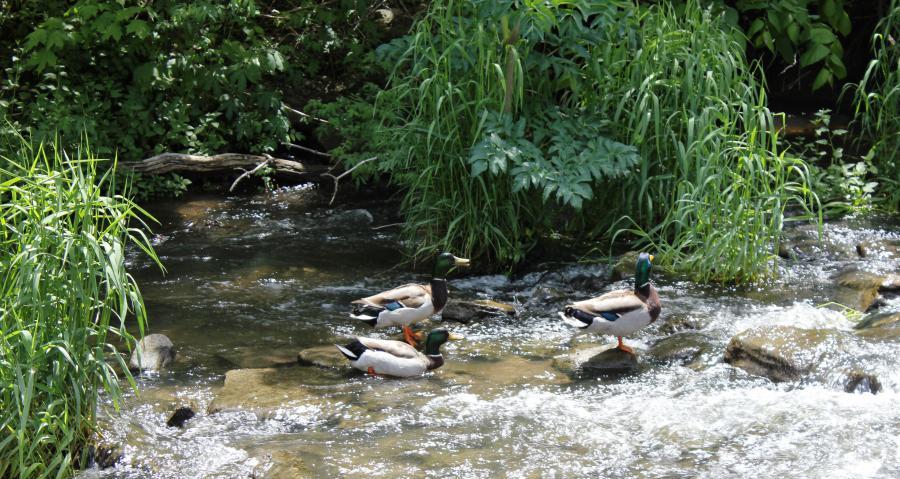 Three ducks swimming in Spring Creek at Veterans Park