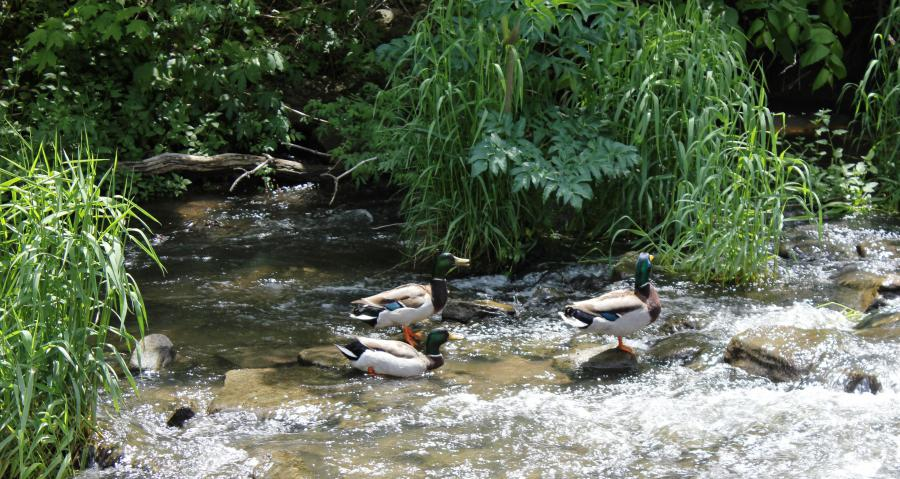 Three ducks swimming in Spring Creek at Veterans Park